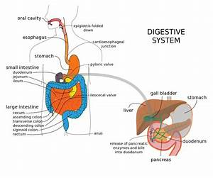 digestive system essay example