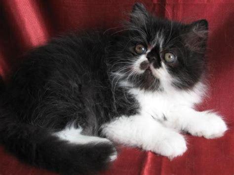 chat persan noir et blanc 187 mon regard sur le voyage et la nature