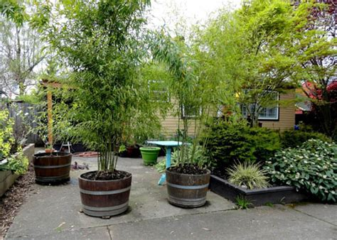 growing bamboo in containers genius ideas how to use barrel for planting flowers 4105