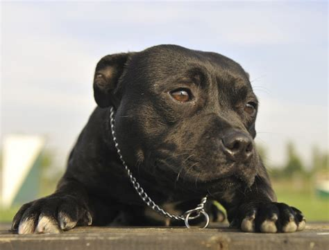 reasons  staffies  great dogs