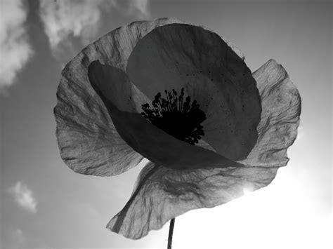 black poppy flower black and white paper poppy flower floral nature by kraftykatreena