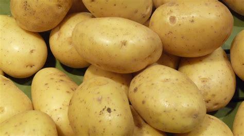 pomme de terre en chambre pomme de terre de pertuis wikipédia
