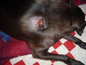 Treatment for brown recluse bites in dogs