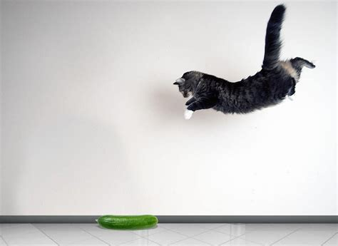 cat cats cucumbers afraid why