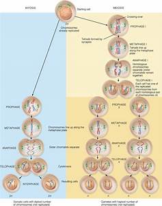 With The Aid Of Diagram Explain The Stages Of Mitosis And Meiosis