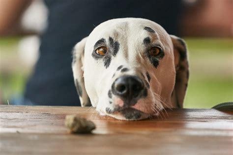 dog vomiting blood canna pet