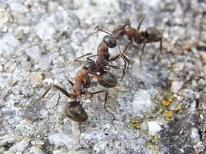 Ameisen im garten ameisen im hochbeet garten interessante for Französischer balkon mit ameisen vertreiben im garten
