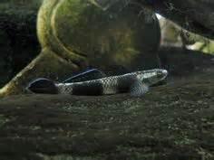 Stiphodon Semoni cobalt blue goby freshwater goby