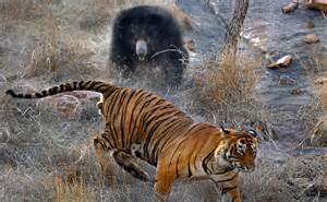 Cheiro de Bicho: Ursa enfrenta dois tigres com filhotes ...