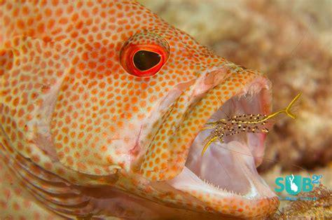 cleaning cleaner shrimp grouper fish station speckled reef cleans stations wrasse tropical diveadvisor