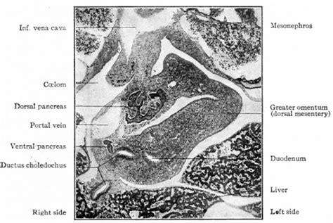 endocrine pancreas development embryology