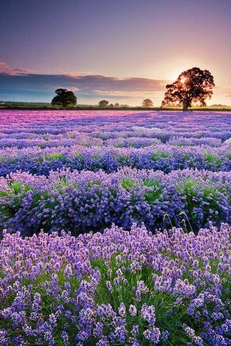 travel mondays lavender fields  provence france