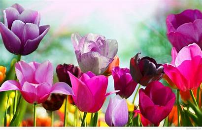 Spring Flowers Tulip Background Tulips Flower Wallpapers
