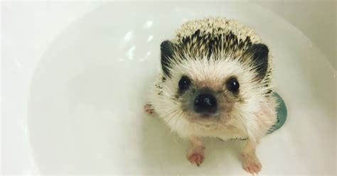 Please enjoy all these hedgehogs being washed with