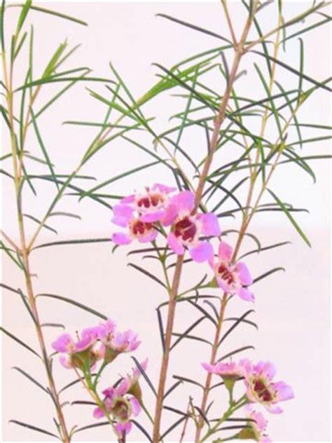 chamelaucium uncinatum australian native plants plants
