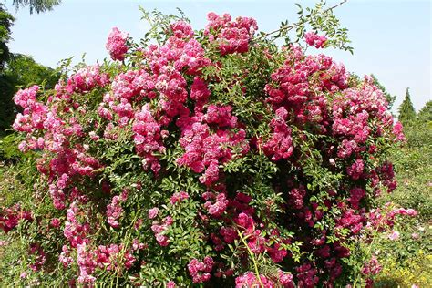 pink flowering shrubs bush with flowers flowers ideas for review