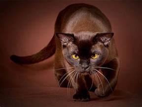brown cat brown cat purrfect cat breeds