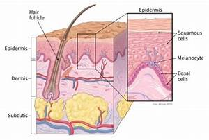 Illustration Showing Cross Section Of The Skin Including