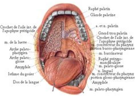 interieur de la bouche blanche schema de la tete os et muscles de la t 202 te by sereni
