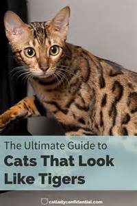 cats that look like tigers the ultimate guide to cats that look like tigers cat