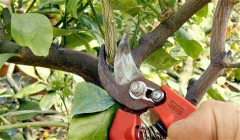 potatura arancio in vaso la potatura degli agrumi in vaso va fatta tra maggio e giugno