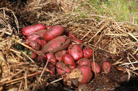 biodoc 5 culture de la pomme de terre permaculture