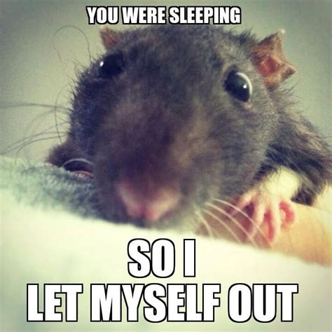 Rat Memes - 455 best images about le rat on pinterest animals fans and hamsters