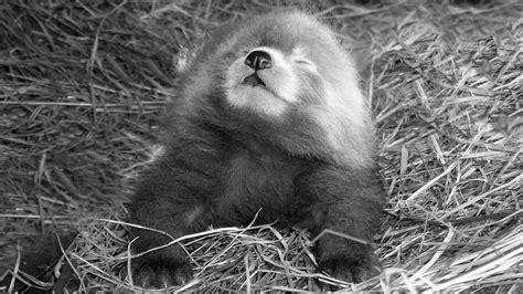 Rare Red Panda Born At Dutch Safari Park Ananova