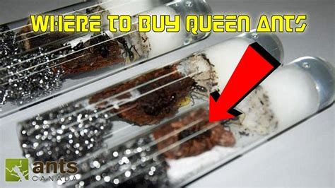Where To Buy by Where To Buy Ants Getting Started In Ant Keeping
