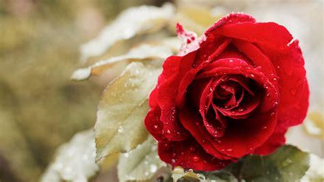 Beautiful Red Rose 4k Wallpapers