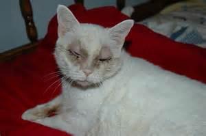 cat with fleas sensitive white cat flea sunscreen