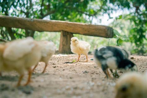 Allevamento Galline Ovaiole In Gabbia - allevamento galline ovaiole in gabbia 28 images una