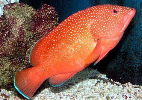 grouper coney caribbean fish aquarium epinephelus fulvus flickr subfamily groupers fishes game amphibians fishing shopify