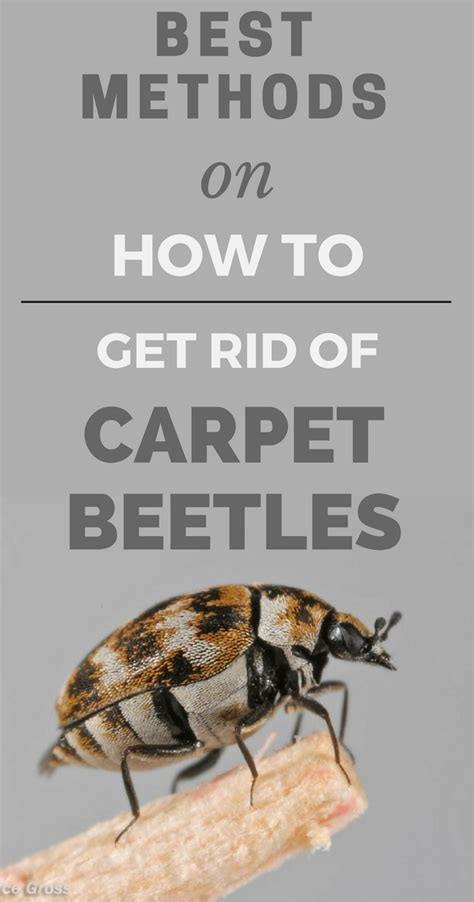 methods     rid  carpet beetles