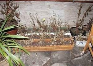 Hortensien überwintern Im Keller : pelargonien geranien berwintern pflege vermehren ~ Lizthompson.info Haus und Dekorationen