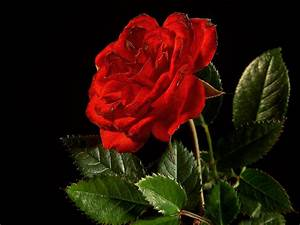 Flower Wallpapers | Flower Pictures | Red Rose | Flowers ...