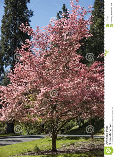 japanischer hartriegel baum rosafarbener hartriegel baum stockbild bild blatt
