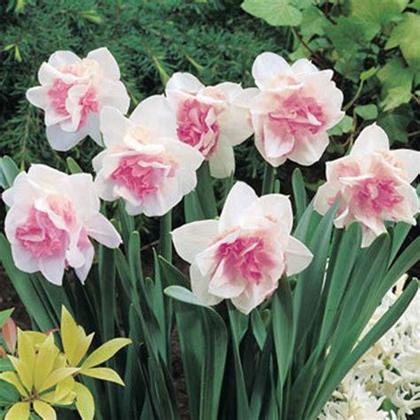 narcissus replete best garden bulbs for