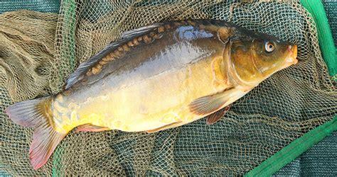 cuisine canal guide des poissons peut on consommer la carpe