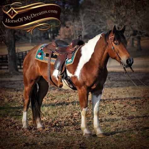 draft horse paint cross reno gelding trail henry horses beginner