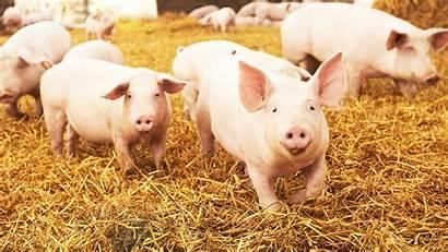 Swine Pig Animal Washington State Wsu Agriculture