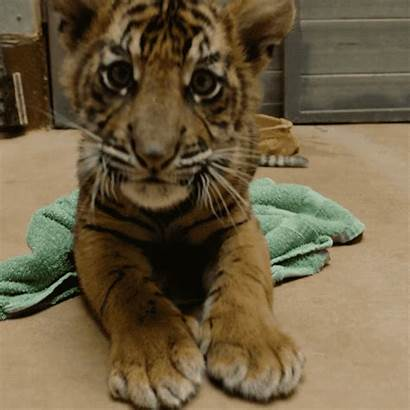 Zoo Happy Diego Animals Giphy San Tiger