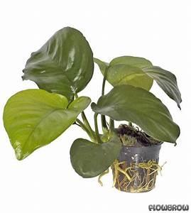 Caladium Knollen Kaufen : anubias barteri var caladiifolia caladium bl ttriges ~ Lizthompson.info Haus und Dekorationen