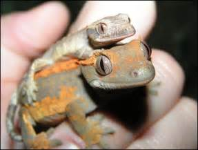 meet the crested geckos jonathan s jungle roadshow