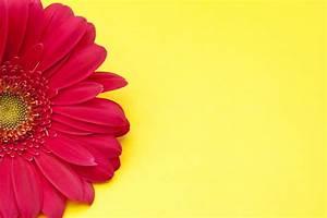 Gerber Daisy Wallpaper - WallpaperSafari