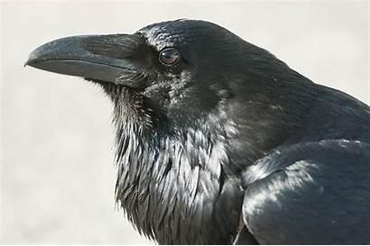 Raven Bird Head Birds Wallpapers Looking Wolf