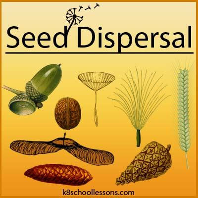 seed dispersal  kids examples  seed dispersal agents