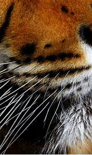 Free Bengal Tiger Whiskers Stock Photo - FreeImages.com