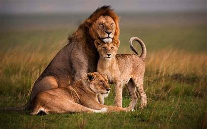 Lion Animal Jungle Wallpapers Forest Jooinn