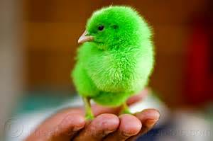 Green Baby Chicks